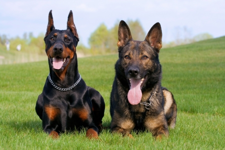black doberman and german sheepdog laying together on the green grass Stock Photo - 5154687