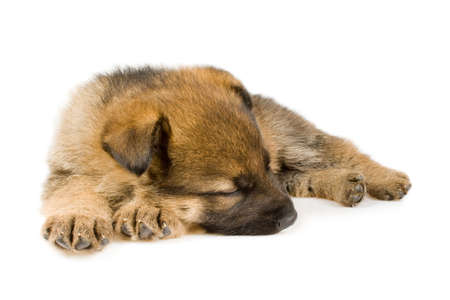 newborn sheepdogs puppy isolated on white background Stock Photo - 6008627