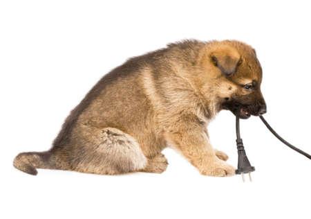 cables electricos: Cachorro de perros pastores y cable de la l�mpara aislada sobre fondo blanco