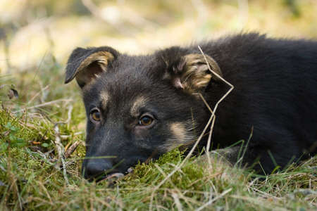 sheepdogs puppy on the grass in spring forest photo