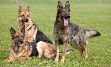 three German shepherds on the green grass in summer park Archivio Fotografico
