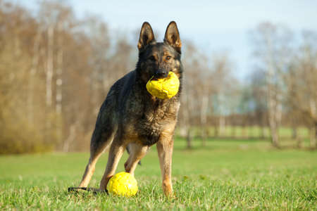 German shepherd playing with yellow balls in the park photo