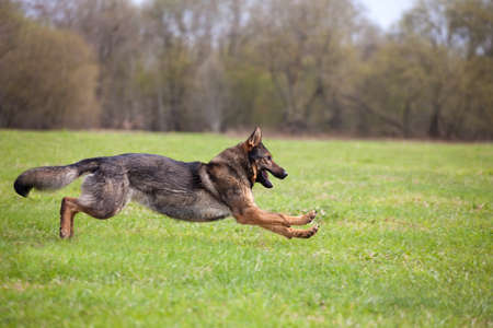running German shepherd in the park photo