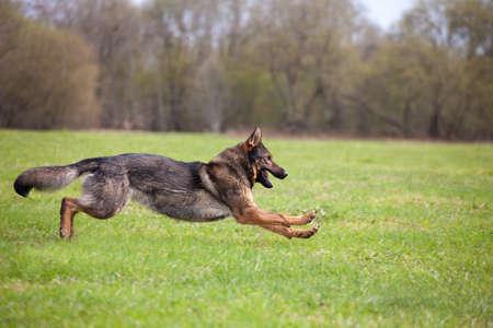 running German shepherd in the park