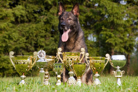 german sheepdog with cups sitting on the grass photo