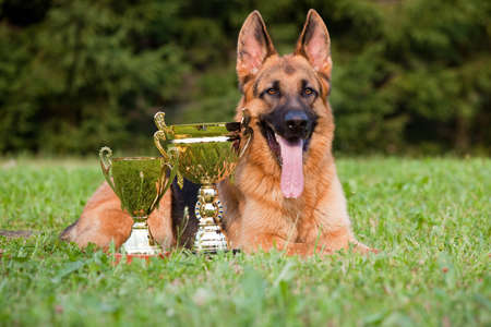 german sheepdog with cups laying on the grass photo