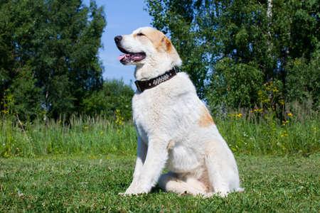 central asia shepherd dog: Central Asian Shepherd Dog portrait on the outside background Stock Photo