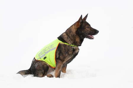 rescue sheepdog searching on white snow background photo