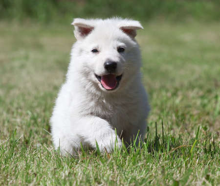 White Swiss Shepherd`s puppy running on the grass