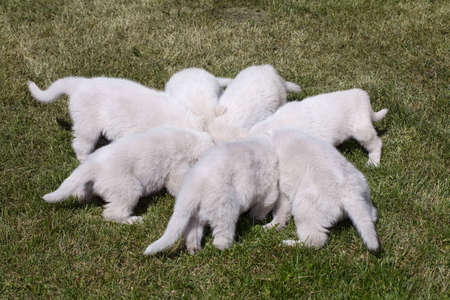 Seven White Swiss Shepherd`s puppy eating meal on the grass photo