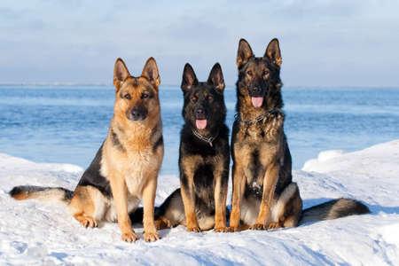 Three german sheepdogs sitting on the snow photo