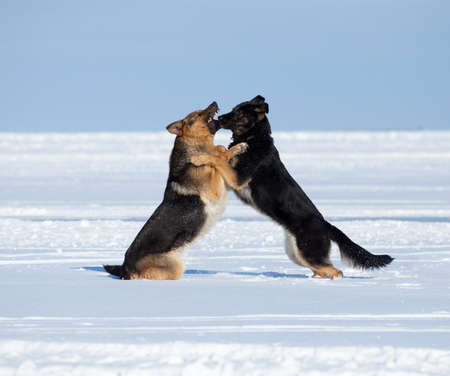 agressive: two German sheep-dogs fighting over a snow backgroung