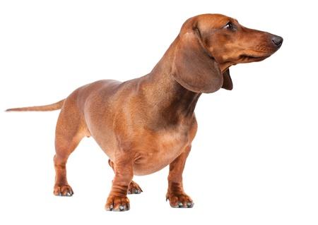 short haired Dachshund Dog isolated over white background photo
