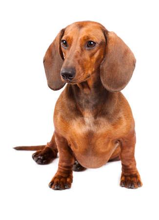 sausages: Perro de Dachshund pelo corto aisladas sobre fondo blanco