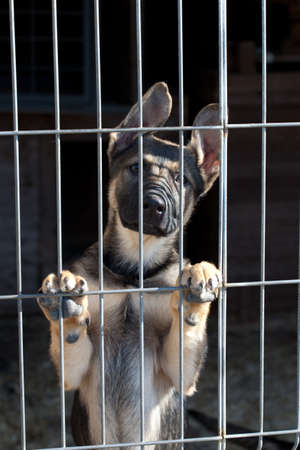 shepherd dog puppy in the pound