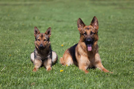 Two German Shepherds laying on the green grass photo