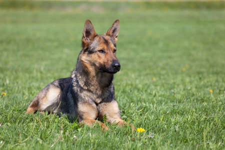 German Shepherd laying on the green grass Stock Photo - 9668159