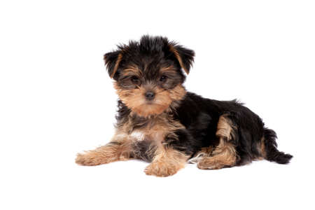 Yorkshire Terrier puppy isolated over white background photo