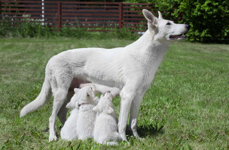 breast feeding Swiss shepherd dog with pups Stock Photo