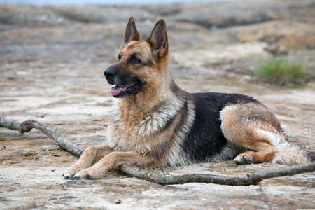 German Shepherd laying on the sand Stock Photo - 10204864
