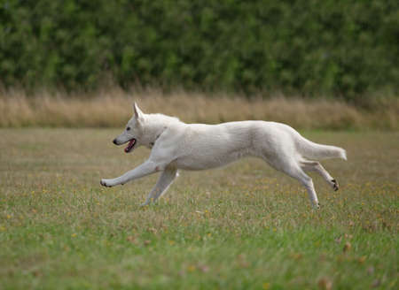 german shepherd on the grass: White Swiss Shepherds running on the grass