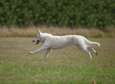 shepherds: White Swiss Shepherds running on the grass