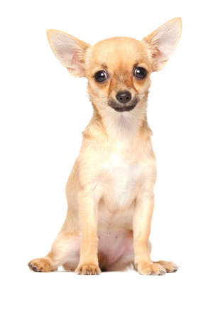 cane chihuahua: Giovane chihuahua isolato su sfondo bianco
