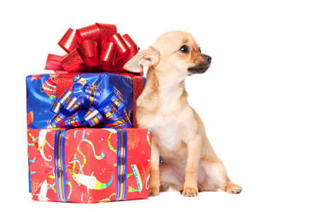 Young chihuahua with Christmas gifts isolated over white background photo