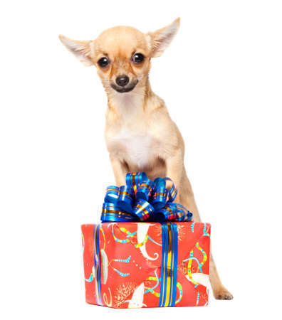 Young chihuahua isolated over white background photo