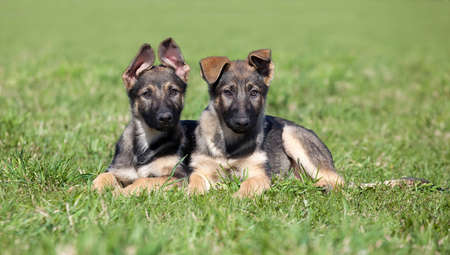 Two young puppys laying on a green grass