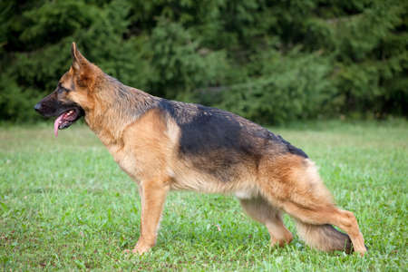 German shepherd on the green grass in the park photo