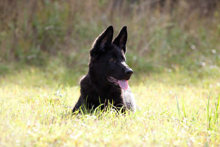 young black puppy of a German Shepherd laying on green grass photo