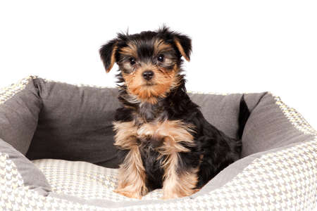 Yorkshire Terrier puppy sitting in dog bed Stock Photo - 11781865