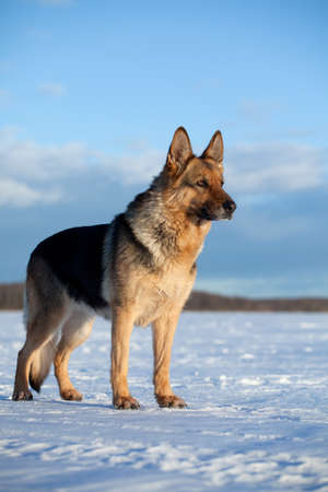 German shepherd staying on the snow Stock Photo