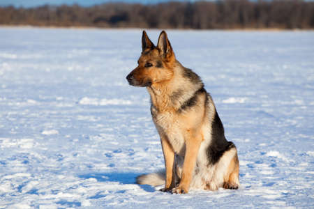 German shepherd sitting on the snow photo