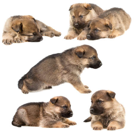 German shepherd`s puppys isolated on white background
