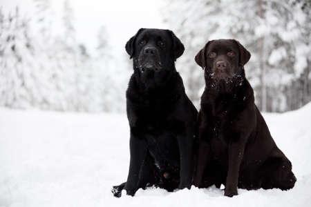 Black and Brown Labrador Retrievers on the white snow photo