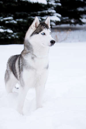 Young Husky on white snow background