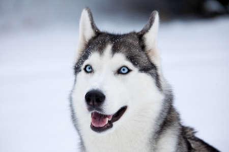 laponie: Jeune Husky sur fond blanc de neige