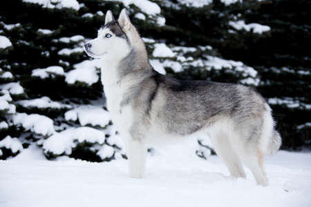blue grey coat: Young Husky on white snow background