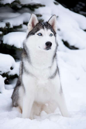 blue eye husky: Young Husky on white snow background