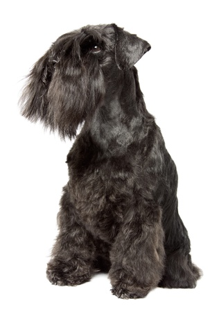 Miniature Schnauzer black isolatad over white background photo