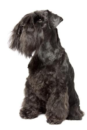 Miniature Schnauzer black isolatad over white background Stock Photo - 12507844