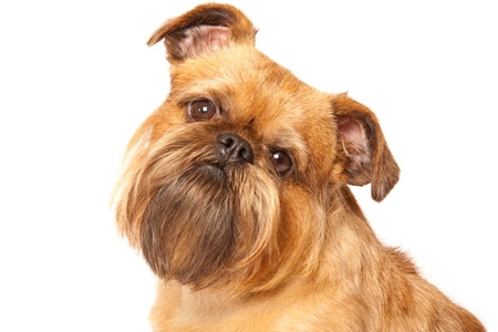brussels griffon: griffon bruxellois isolated over white background
