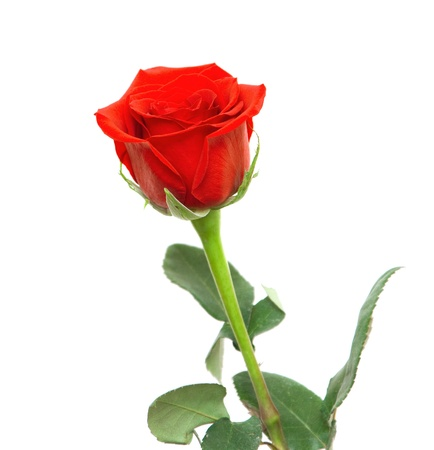 rose stem: beautiful red rose isolated on white background
