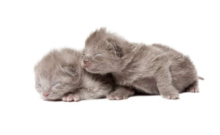 Two british blue shorthair kittens isolated over white background Stock Photo - 12853359
