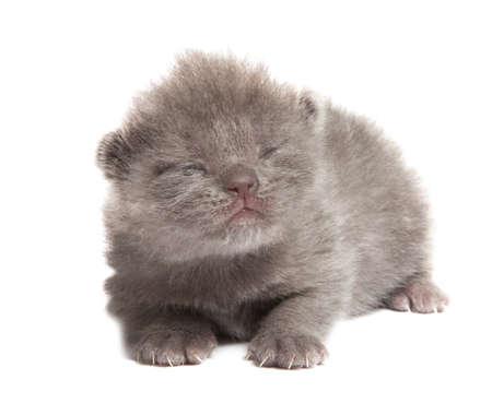 british blue shothair kitten isolated over white background Stock Photo - 12853276