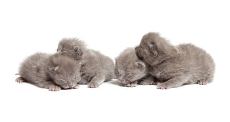 four british blue shorthair kittens isolated over white background Stock Photo - 12853416