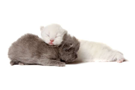 Two british shorthair kittens isolated over white background Stock Photo - 12853413