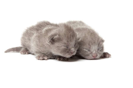 Two british blue shorthair kittens isolated over white background Stock Photo - 12853461